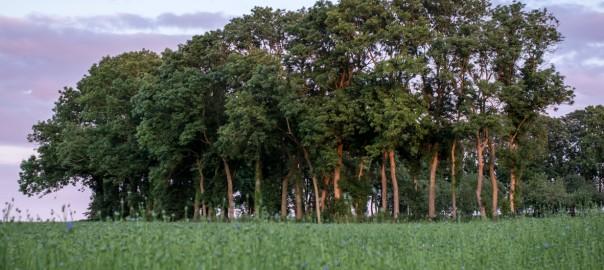 Sassetot-le-Mauconduit (76), le 22 juin 2012 : champ de lin (Photo Sebastien Rande / CELC)